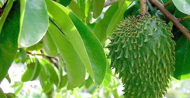 15 avantages santé étonnants des feuilles de Graviola ou corossol