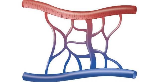 La Dihydroquercétine pour régénérer la micro-circulation